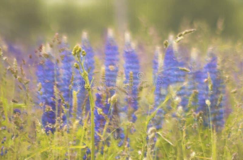 Den sommarängen och lupinusen blommar i bakgrund royaltyfri foto