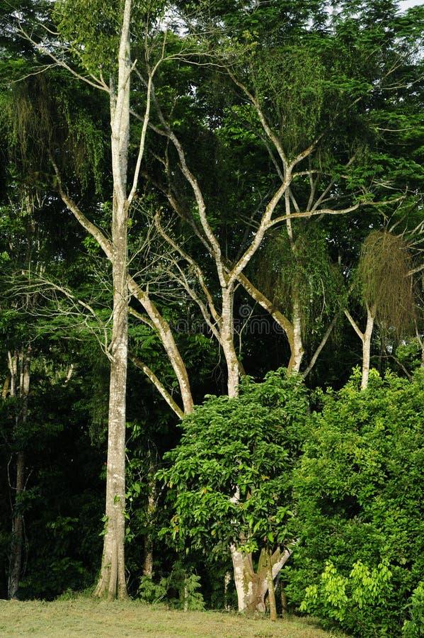 Den spanska almen står högväxt på kanten av en skog royaltyfri foto