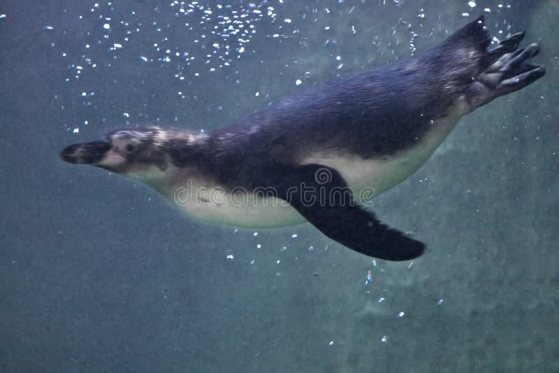 Den spensliga pingvinet simmar purposefully i blått vatten i vattenkolonnen, som, om flyga royaltyfri bild