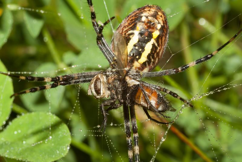 Den spindelArgopa brunnichaen äter dess rov - flugan arkivbild