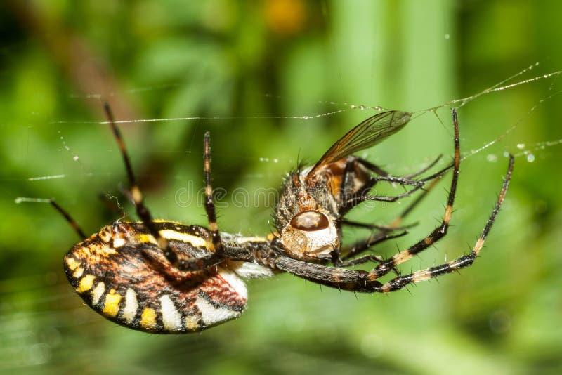 Den spindelArgopa brunnichaen äter dess rov - flugan royaltyfri fotografi