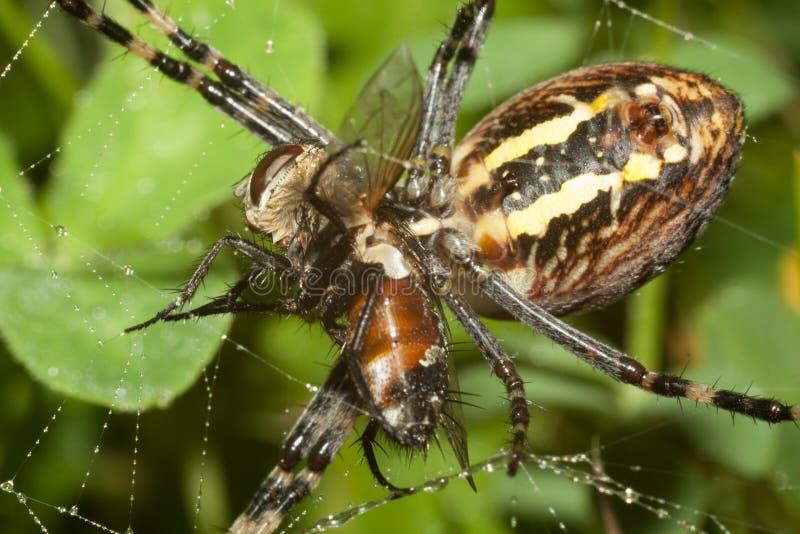 Den spindelArgopa brunnichaen äter dess rov - flugan royaltyfri foto