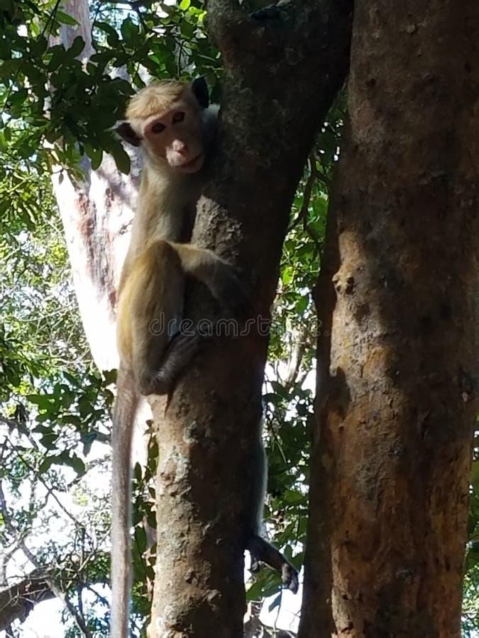 Den srilankesiska apan stirrar på dig royaltyfri fotografi