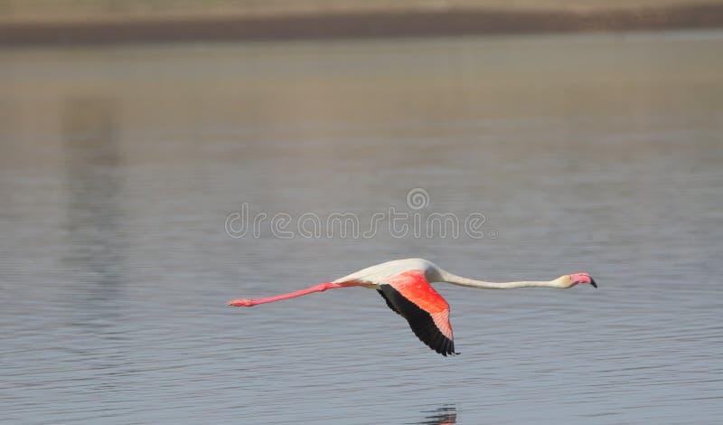 Den större flamingo flyger fotografering för bildbyråer