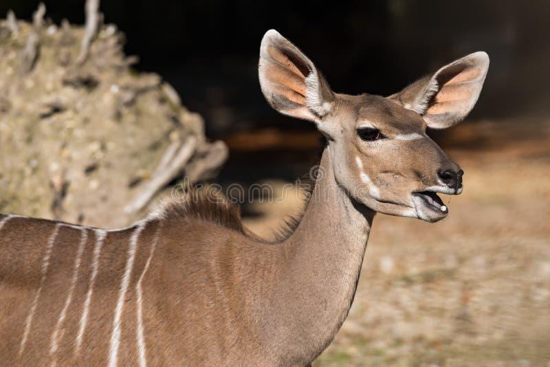 Den st?rre kuduen, Tragelaphusstrepsiceros ?r en skogsmarkantilop royaltyfria bilder