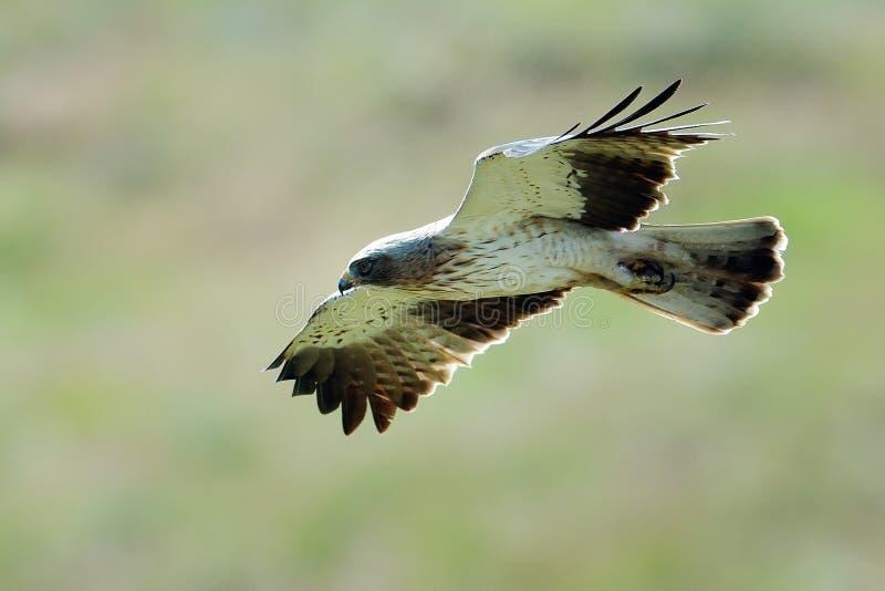 Den startade Eagle (den Aquila pennataen) royaltyfria foton