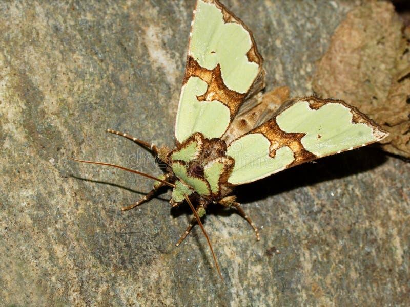 Den Staurophora celsiaen är en mal av familjnoctuidaen royaltyfri bild
