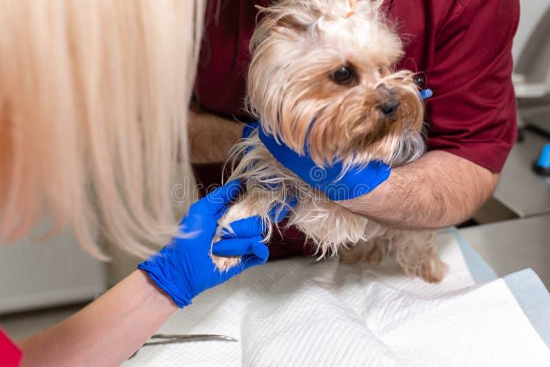 Den stiliga doktorsveterinären och hans attraktiva assistent på veterinärkliniken undersöker den lilla hunden Yorkshire Terrier royaltyfri fotografi