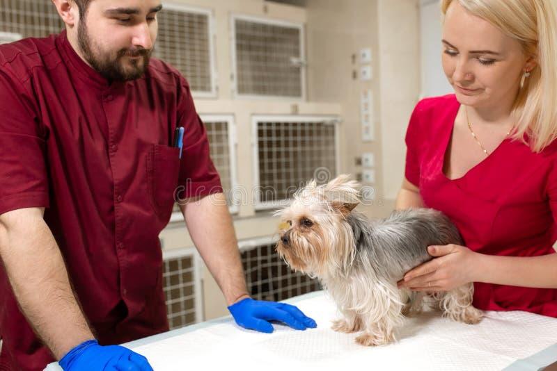 Den stiliga doktorsveterin?ren och hans attraktiva assistent p? veterin?rkliniken unders?ker den lilla hunden Yorkshire Terrier arkivfoton