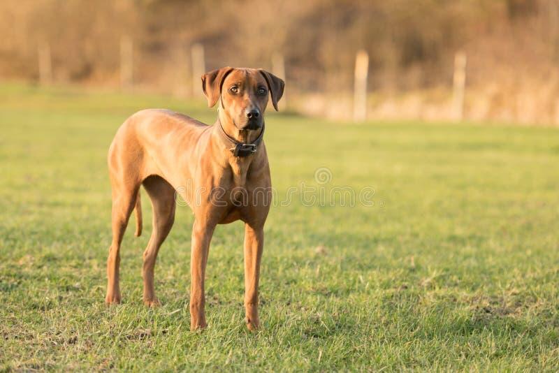 Den stolta Rhodesian Ridgeback hunden står på en grön äng mot suddig bakgrund royaltyfri bild