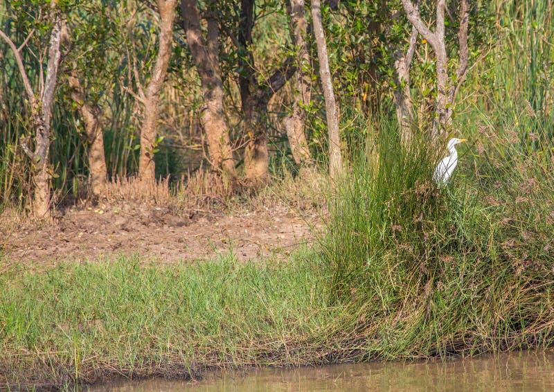 Den stora ägretthägret i gräset på den ISimangaliso våtmarken parkerar royaltyfria bilder