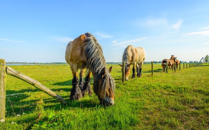 Den stora belgiska hästen äter gräs på andra sidan arkivfoton