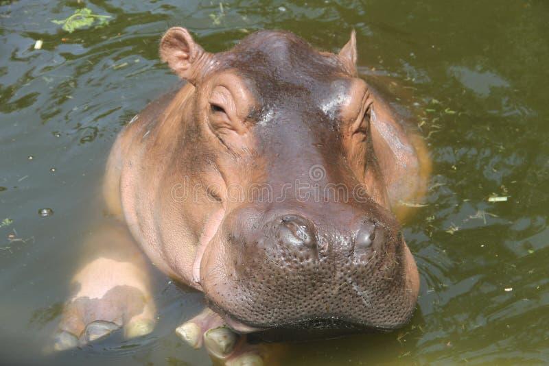 Den stora bruna flodhästen simmar i ett damm royaltyfri fotografi