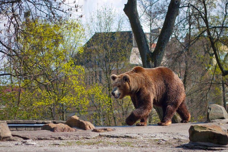 Den stora brunbjörnen i en zoo på ett konstgjort vaggar royaltyfri bild