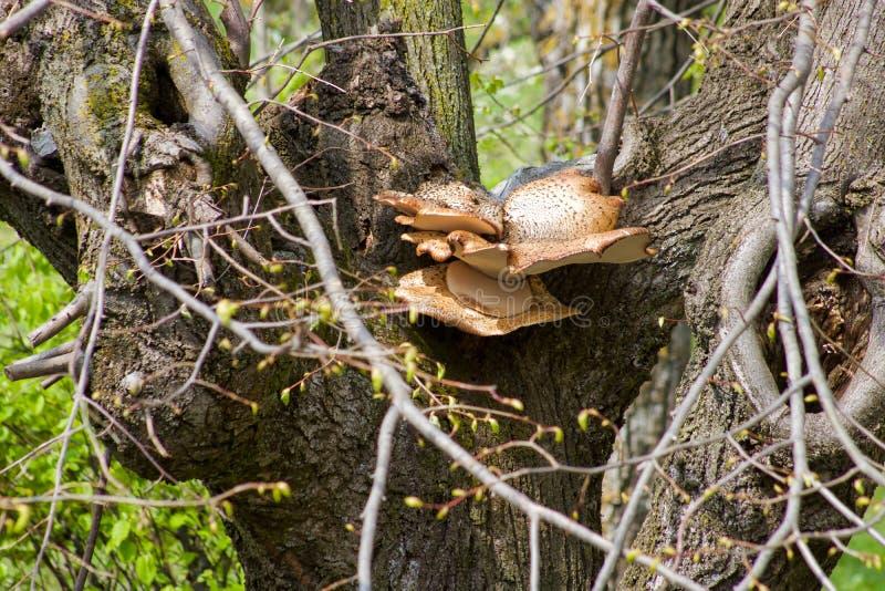 Den stora champinjonpolyporussquamosusen växer på en lind fotografering för bildbyråer