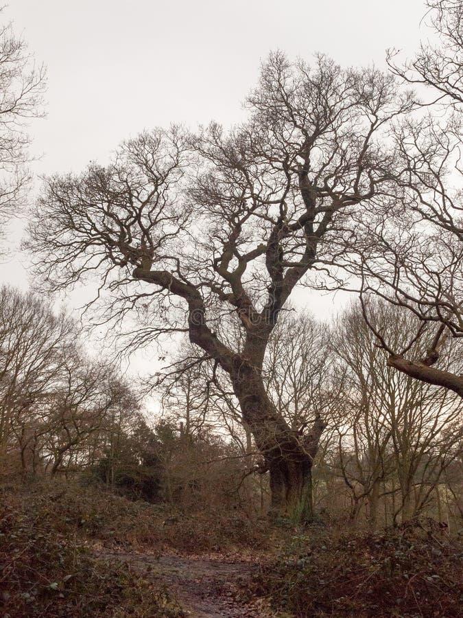 den stora eken i höst för skogskogsmarkvår gör bar inga sidor D fotografering för bildbyråer