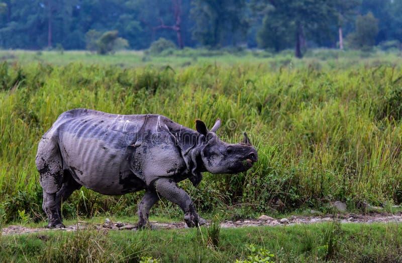 Den stora en Horned noshörningen royaltyfria bilder