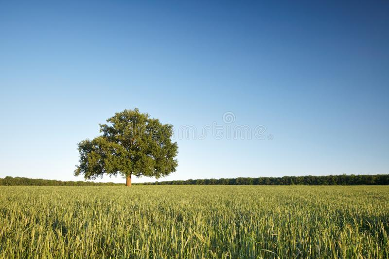 Den stora ensamma eken på ett grönt fält mot den blåa himlen royaltyfria foton