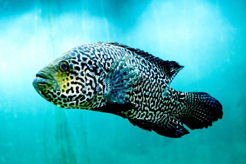 Den stora fisken i klart och klart blått vatten, stänger sig upp skönheten av den undervattens- världen royaltyfria bilder