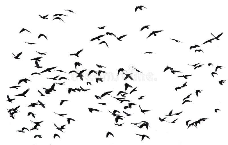 Den stora flocken av svarta fåglar gal flyg på isolerade vita lodisar arkivfoto
