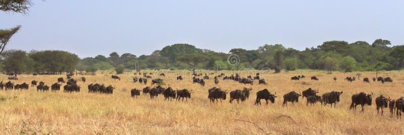 Den stora flyttningen av gnu (Connochaetestaurinus) i Serengeti, Tanzania royaltyfri bild