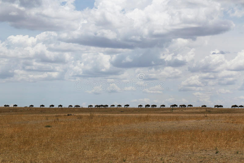 Den stora flyttningen: En linje av gnu arkivbilder