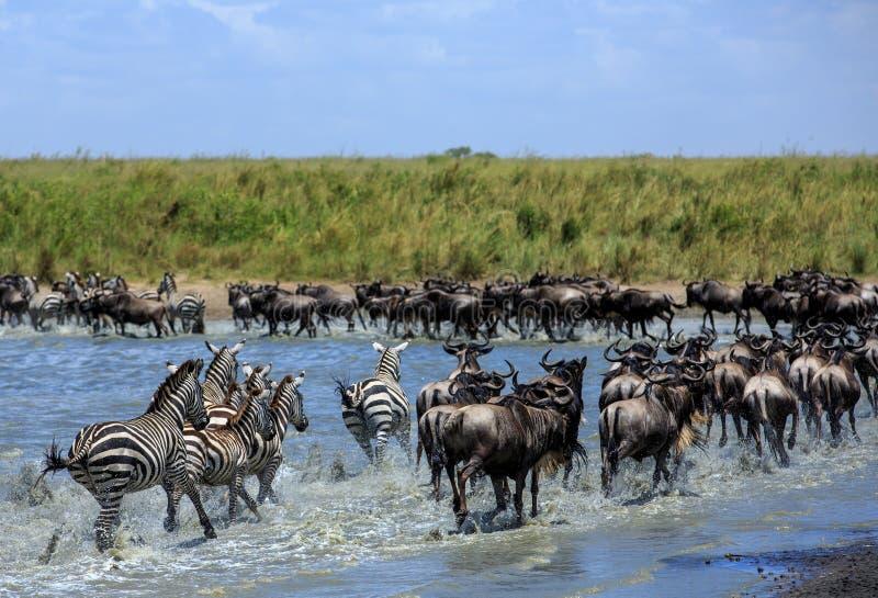 Den stora flyttningen i Serengetien - gnu och sebror arkivfoto