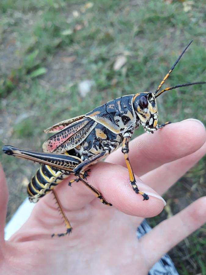 Den stora gräshoppan överraskar fotografering för bildbyråer