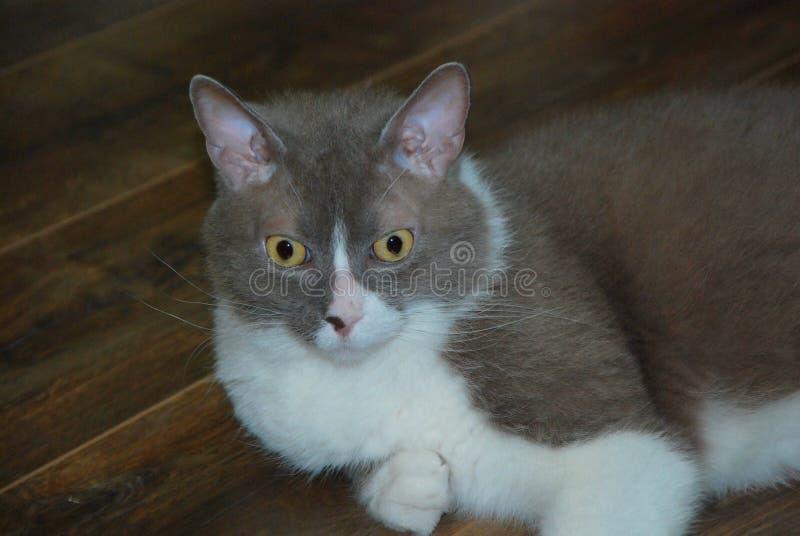 Den stora gråa katten av den brittiska aveln ligger och poserar för kameran arkivfoto