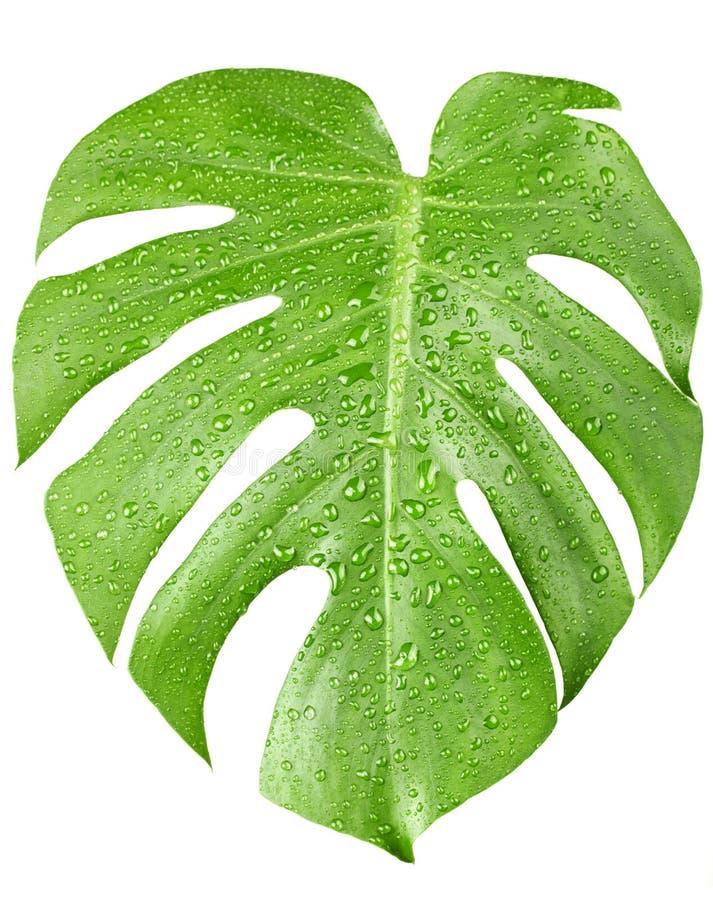 Den stora gröna leafen av den Monstera växten med vatten tappar royaltyfri foto