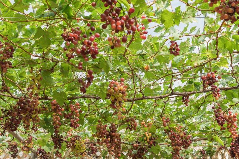 Den stora gruppen av rött vindruvor hänger från en vinranka med gröna sidor arkivfoton