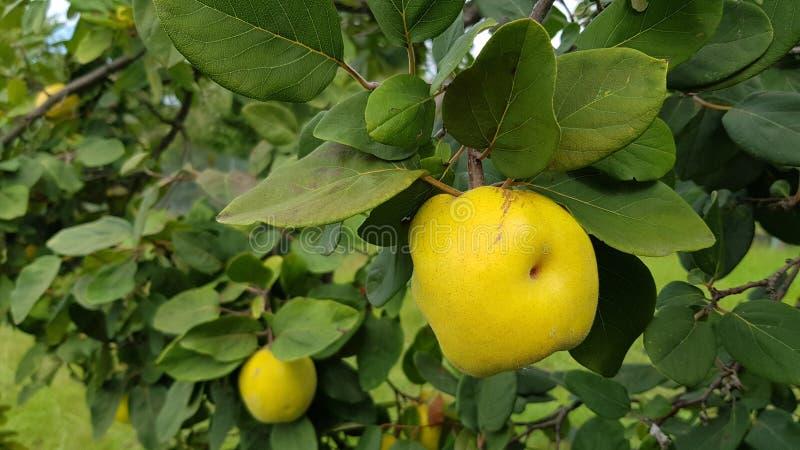 Den stora gula äpplekvitten med fördjupning skalar på av frukt Omogna kvitten hänger på trädfilialer med frodiga gröna sidor Somm arkivbild