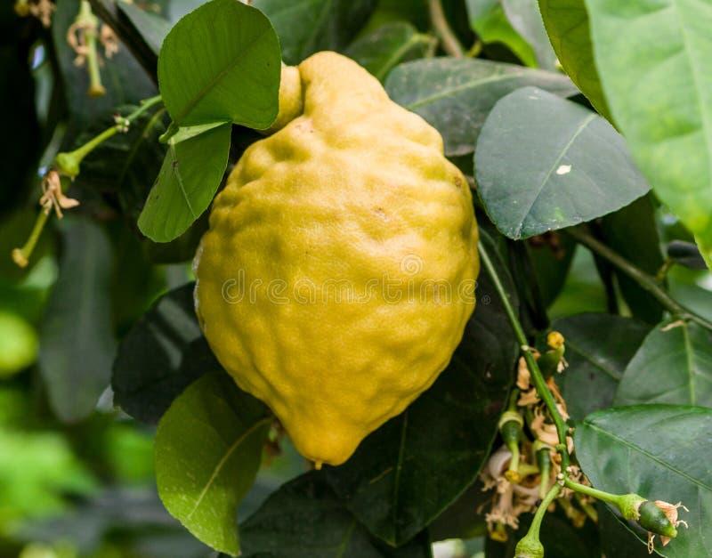 Den stora gula citronen växer på en filial med mörker - gräsplansidor arkivbild