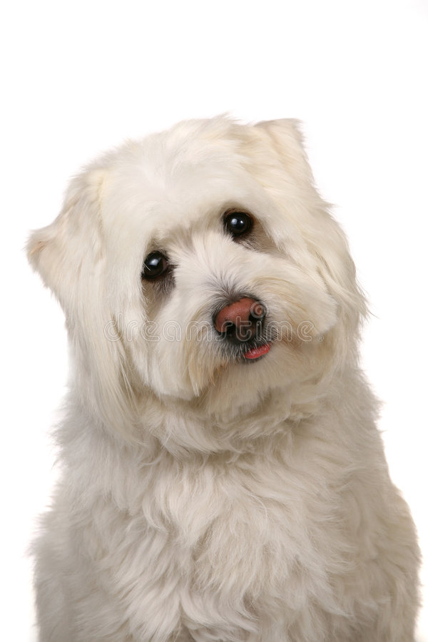den stora hunden eyes vitt bedrövat för mut fotografering för bildbyråer
