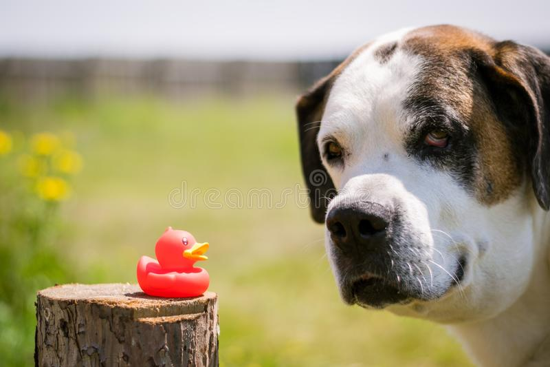Den stora hunden sniffar anden royaltyfria foton