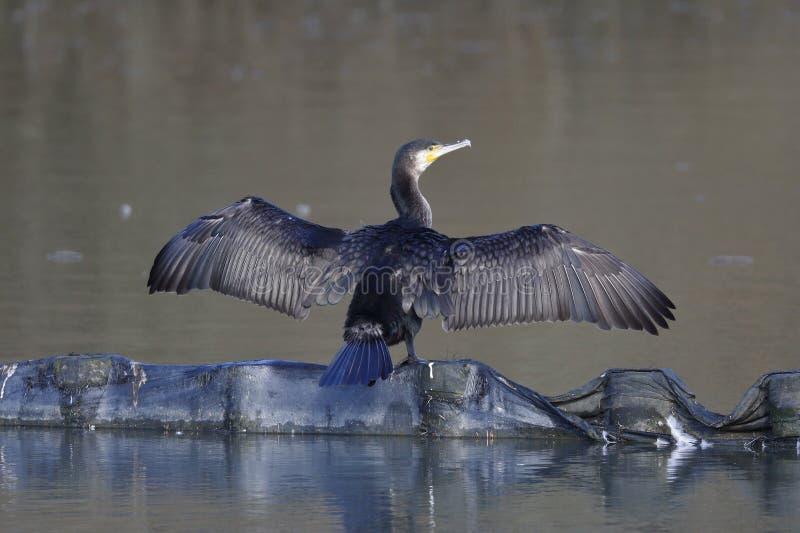 Den stora kormoran som torkar dess vingar i morgonen royaltyfria foton