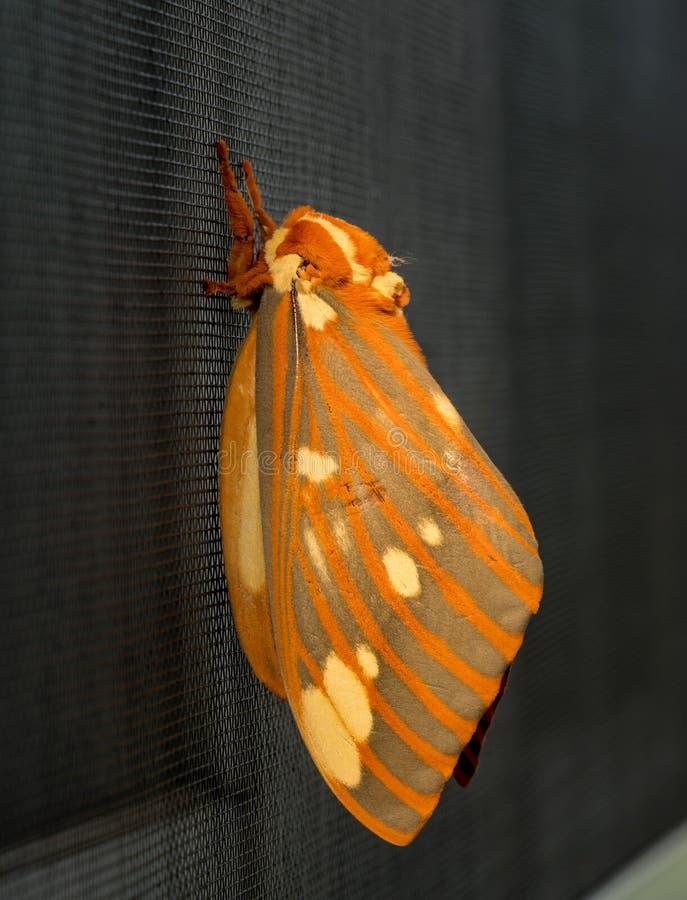 Den stora kungliga malen eller Citheronia Regalis landade på fönsterskärmen royaltyfri foto