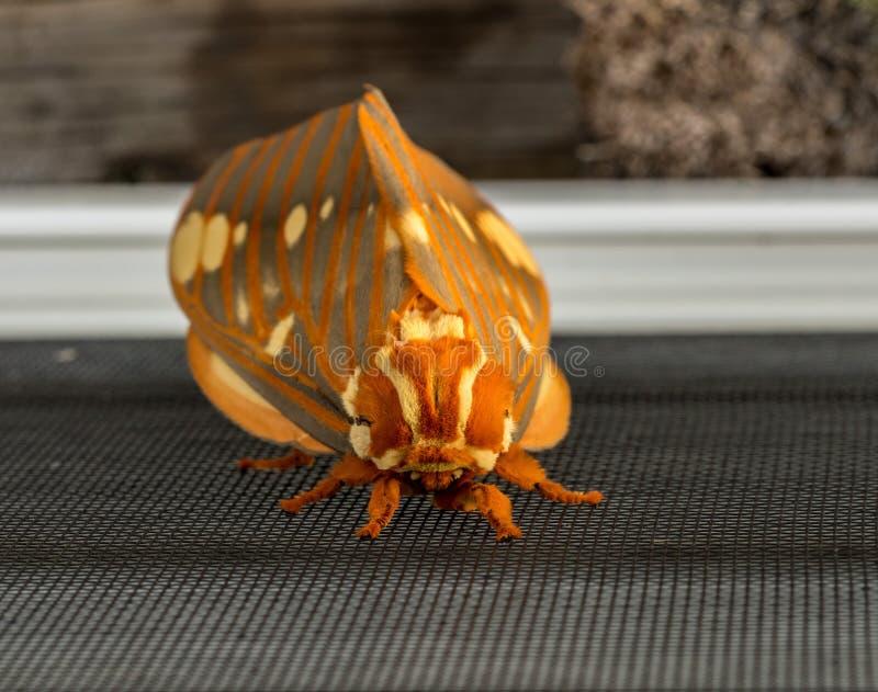 Den stora kungliga malen eller Citheronia Regalis landade på fönsterskärmen fotografering för bildbyråer