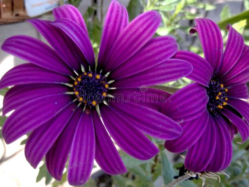 Den stora lilan blommar den mjuka vårmystiker royaltyfria foton