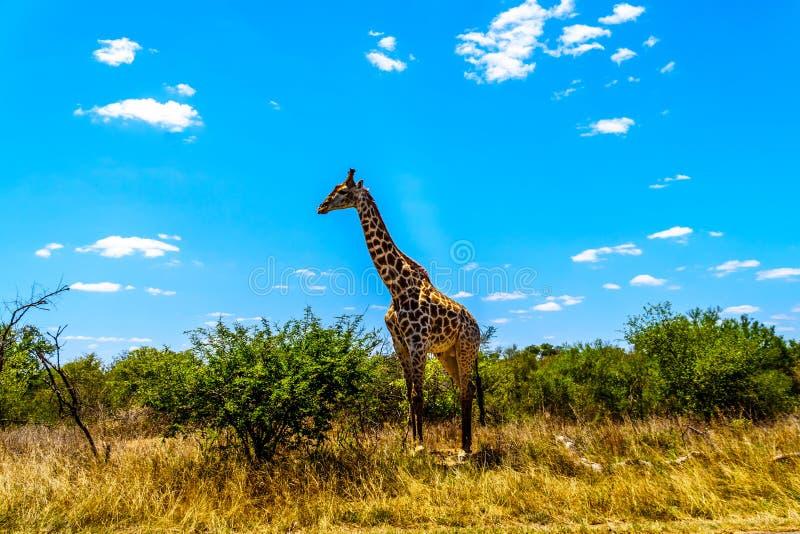 Den stora manliga giraffet under blå himmel i Kruger parkerar arkivbilder