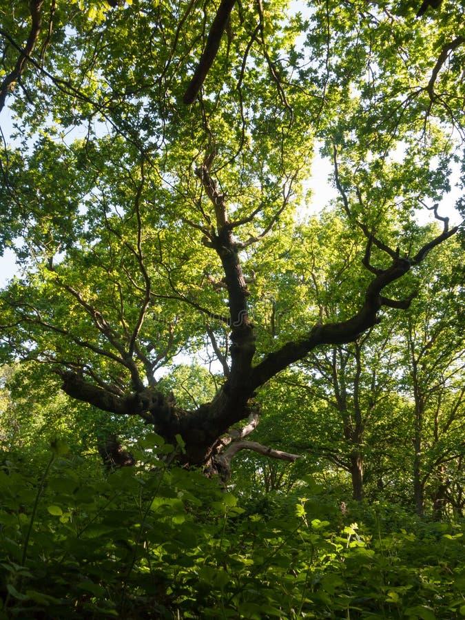 den stora markisen för skogen för sikten för sidan för ekstammen inre råka få höra lodisar royaltyfri foto