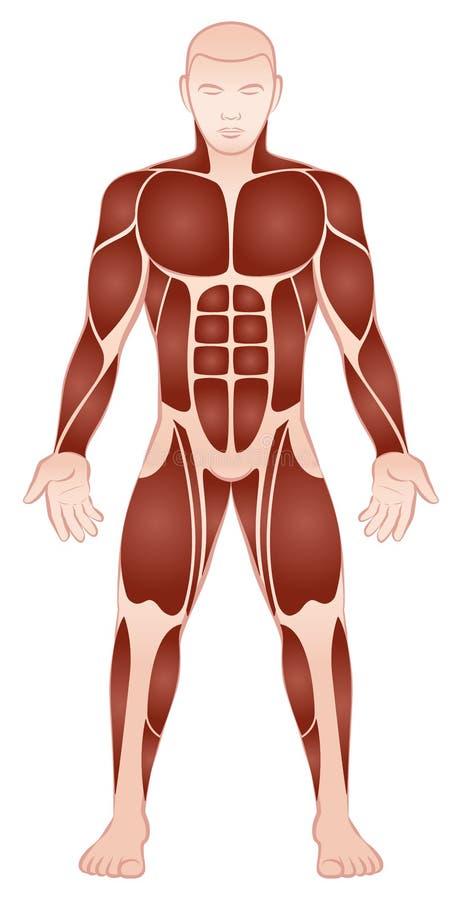 Den stora muskeln grupperar den manliga kroppen Front View royaltyfri illustrationer