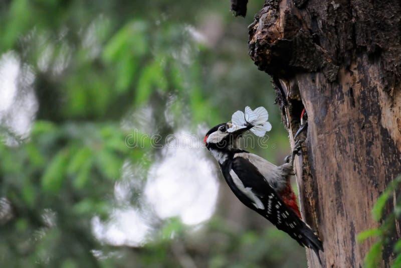 Den stora prickiga hackspetten matar fågelungen i redefördjupning arkivbild