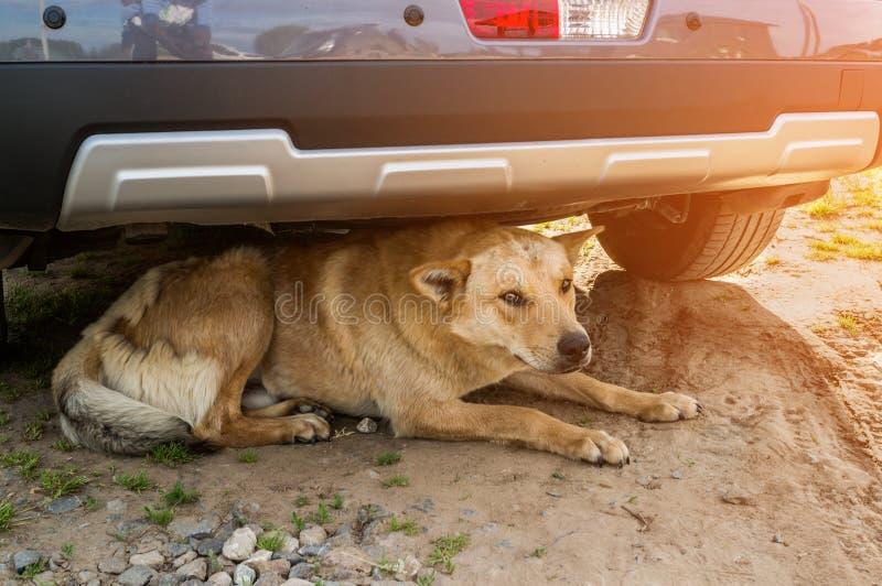 Den stora röda hunden ligger under hjulet på bevaka för väg soligt arkivfoton