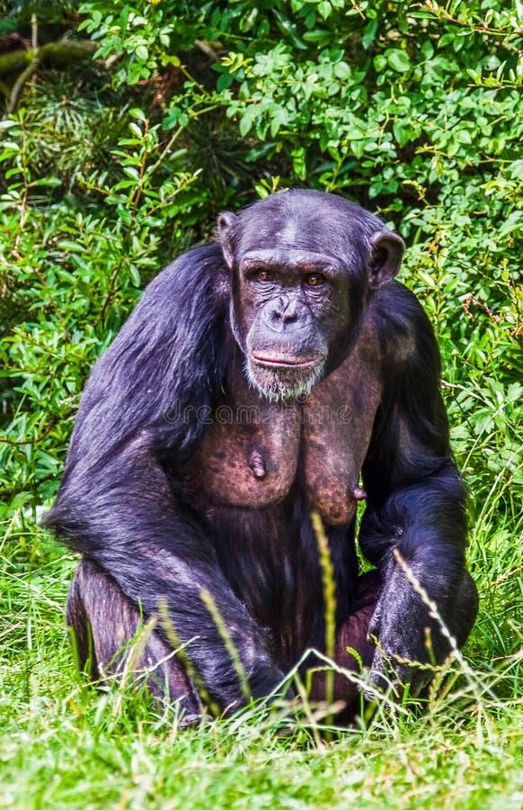Den stora schimpansen royaltyfria foton