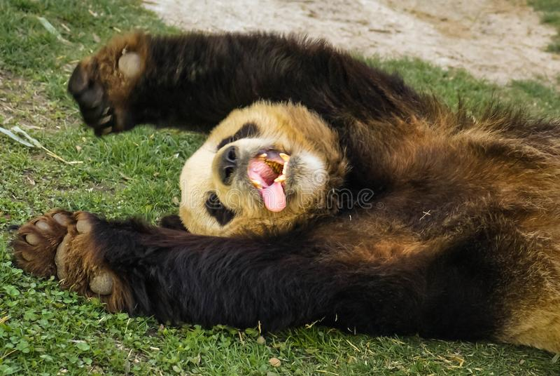 Den stora svart-vit pandabjörnen som sover med, tafsar upp för att ge upp arkivbild