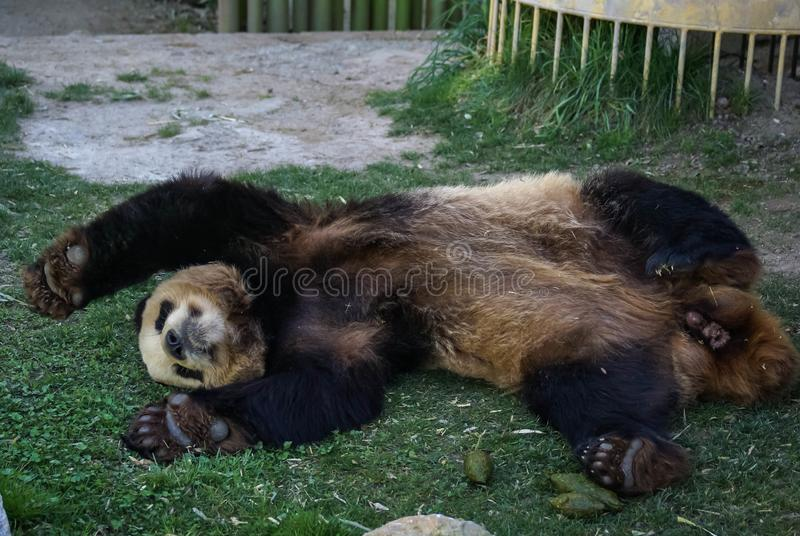 Den stora svart-vit pandabjörnen som sover med, tafsar upp för att ge upp arkivfoton