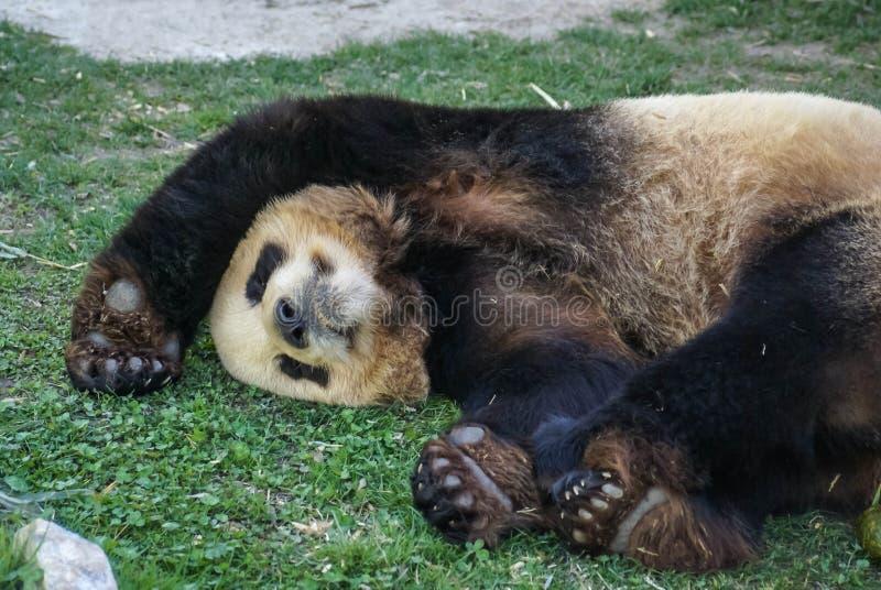 Den stora svart-vit pandabjörnen som sover med, tafsar upp för att ge upp arkivfoto