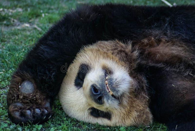 Den stora svart-vit pandabjörnen som sover med, tafsar upp för att ge upp royaltyfri fotografi
