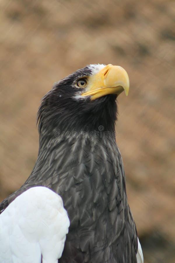 Den stora svartvita örnen arkivfoto